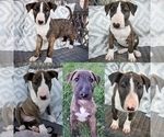 Bull Terrier Puppy For Sale in BOX ELDER, SD, USA