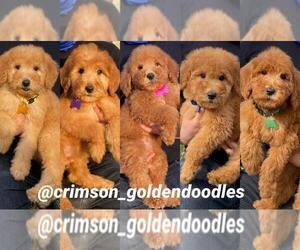Goldendoodle Litter for sale in ROSEMEAD, CA, USA