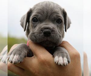 Neapolitan Mastiff Litter for sale in KENNESAW, GA, USA