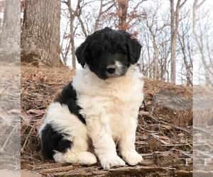 Poodle (Miniature)-Shepadoodle Mix Litter for sale in CHILLICOTHE, MO, USA