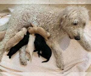 Labradoodle Litter for sale in PIERSON, FL, USA