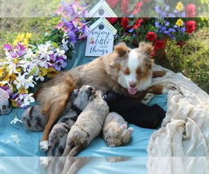 Miniature Australian Shepherd Litter for sale in THOUSAND OAKS, CA, USA