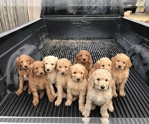 Goldendoodle-Poodle (Standard) Mix Litter for sale in MBORO, TN, USA