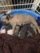 French Bulldog Puppy For Sale in LAGRANGE, GA, USA
