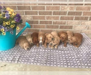 Goldendoodle Litter for sale in WOODBURN, IN, USA