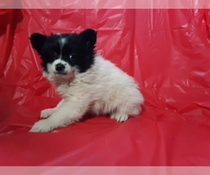 Pomeranian Litter for sale in SCOTTVILLE, MI, USA