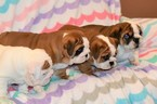Bulldog Puppy For Sale in CHINO HILLS, CA, USA