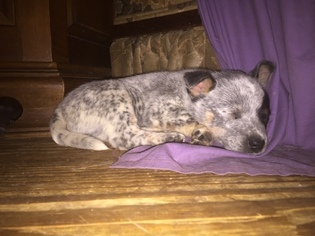 Australian Cattle Dog Litter for sale in TOWNSEND, DE, USA