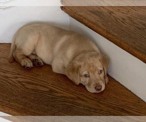 Labrador Retriever Litter for sale in WESTCHESTER, IL, USA