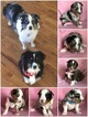 Australian Shepherd Puppy For Sale in SCURRY, TX, USA