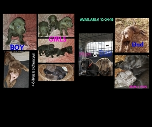 Labrador Retriever Litter for sale in BELTON, SC, USA