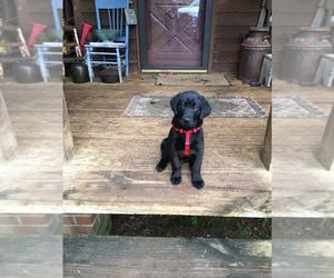 Labrador Retriever Litter for sale in TALKING ROCK, GA, USA