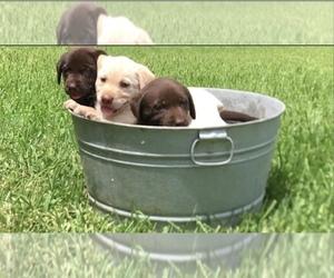 Labrador Retriever Litter for sale in EUSTACE, TX, USA