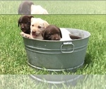 Labrador Retriever Puppy For Sale near 75124, Eustace, TX, USA