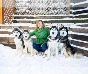 Siberian Husky Litter for sale in COLORADO SPRINGS, CO, USA