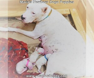 Dogo Argentino Litter for sale in JANE, MO, USA