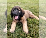 Goldendoodle Puppy For Sale in FLETCHER, NC, USA