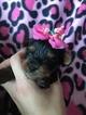 Shorkie Tzu Puppy For Sale in SARASOTA, FL, USA