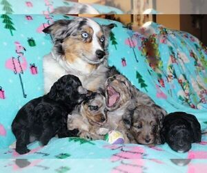 Australian Shepherd-Poodle (Miniature) Mix Litter for sale in NAMPA, ID, USA