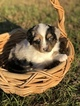 Miniature Australian Shepherd Puppy For Sale in ANTHONY, FL, USA
