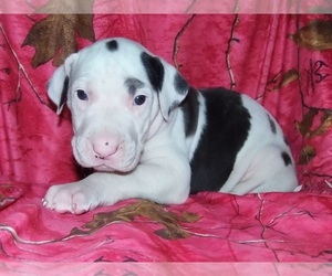 Great Dane Litter for sale in SPRAGGS, PA, USA
