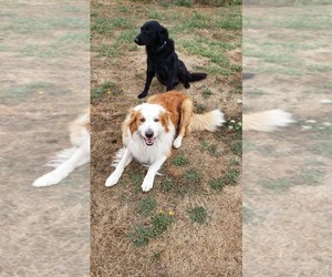 English Shepherd Litter for sale in MOLALLA, OR, USA