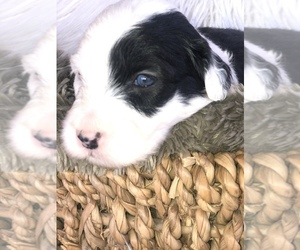 Old English Sheepdog Litter for sale in NATURAL BRG, VA, USA
