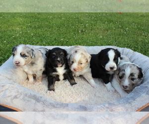 Miniature Australian Shepherd Litter for sale in CONGERVILLE, IL, USA