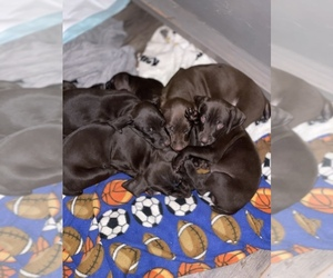 German Shorthaired Pointer Litter for sale in CORONA, CA, USA