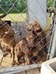 Labrador Retriever Puppy For Sale in PONTOTOC, MS, USA