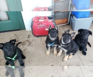 German Shepherd Dog Litter for sale in BELLVUE, CO, USA