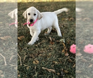 Labrador Retriever Litter for sale in SENECA, KS, USA
