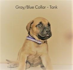 English Mastweiler Puppy For Sale in CONROE, TX, USA
