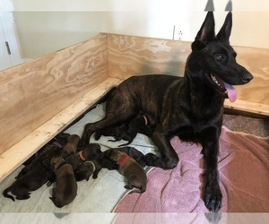 Dutch Shepherd Dog Litter for sale in BURGETTSTOWN, PA, USA