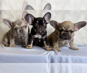 French Bulldog Litter for sale in MINNEAPOLIS, MN, USA