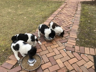 Newfoundland Litter for sale in ASH TWP, MI, USA