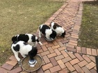 Newfoundland Puppy For Sale in ASH TWP, MI, USA