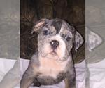 English Bulldog Puppy For Sale in DAYTON, TX, USA