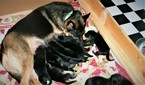 German Shepherd Dog Puppy For Sale in WILLIAMSBURG, KY, USA