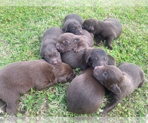 Labrador Retriever Litter for sale in WAYNESVILLE, MO, USA