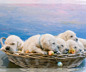 Goldendoodle Litter for sale in LITTLE ROCK, AR, USA