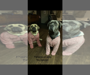 Cane Corso Litter for sale in SLIGO, PA, USA