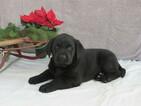 Labrador Retriever Puppy For Sale in BULLTOWN, PA, USA