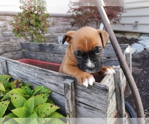 Boxer Litter for sale in FRYSTOWN, PA, USA