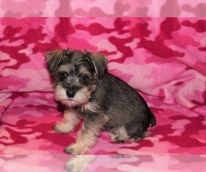 Schnauzer (Miniature) Litter for sale in NEDERLAND, TX, USA