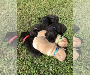 French Bulldog Litter for sale in OCALA, FL, USA