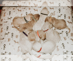 Labradoodle Litter for sale in CUMB GAP, TN, USA