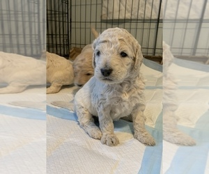 Goldendoodle Litter for sale in CLIFTON, CO, USA