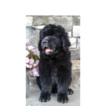 Newfoundland Puppy For Sale in HERNDON, PA, USA