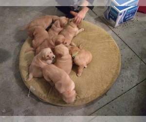 Golden Retriever Litter for sale in NAMPA, ID, USA